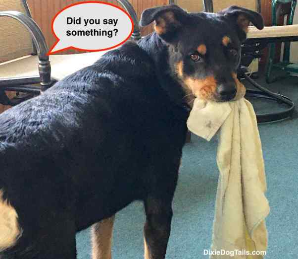 Dog with towel from her mouth