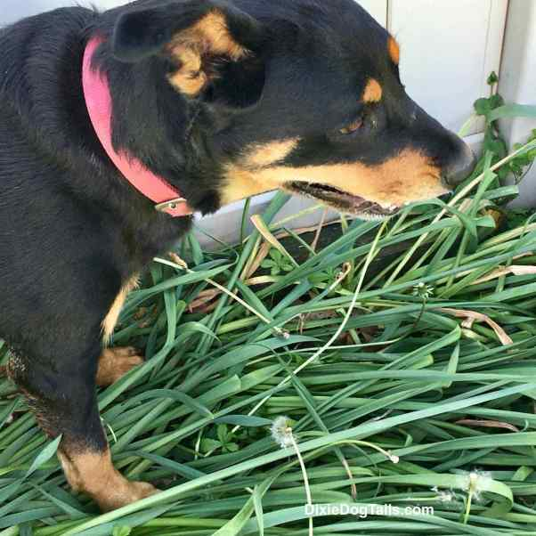 Closeup of a Dog walking through tall grass